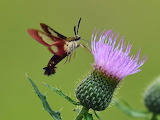 Flowers - Thistle - Hummingbird moth