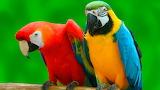 150 Lloros - Parrot