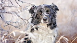 Border-collie-winter-snow