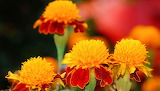 Marigold, flowers, yellow, orange, red, colors