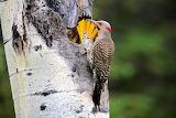Picot - Woodpecker