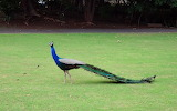 Peacock-2686601 1280