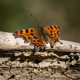 Comma butterfly on a log