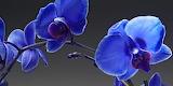 Saphhire-orchid