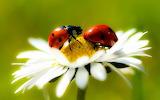 White Daisy Flower Lady Bugs