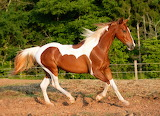 Horse, earth, white and brown, running, nature