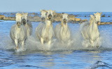 White Horses Running Through Water