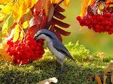 Птица клюет рябину