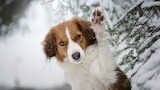 Australian-shepherd-brown-winter-snow-forest
