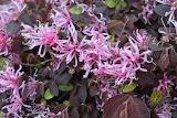 Lorapetalum in bloom