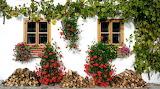 Fasada domu ozdobiona pelargoniami i bluszczem