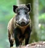 Wild x boar