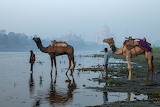 Camels at river yamuna taj mahal in background India