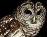 Barred-owl-