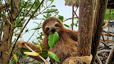 Animals - Three-toed sloth
