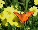 Papallona - Butterflies