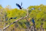 Birds in Flight - Botswana Safari