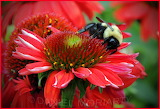 Bumblebee red cone flower