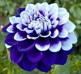 Rare blue and white dahlia