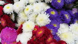 ^ Colorful Chrysanthemums