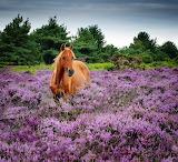 Horse among the heather