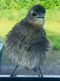 Starling Fledgling