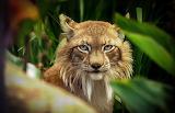 Hippie lynx