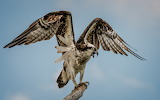 Angry Osprey (banding the young) New York USA