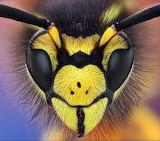 Macro Wasp Head