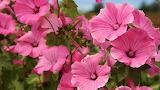 Pink-hibiscuses-39617-3840x2160