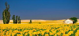 Sun Flowers in -Le-Marche