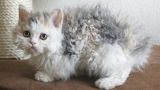 Curly-haired-cat-breed