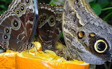 Papallona Mussol - Owl Butterfly