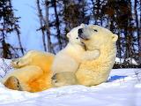 Belye-medvedi-medvezhonok-mama