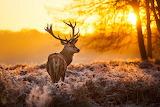 deer at sunset nature