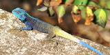 Blue Headed Tree Agama
