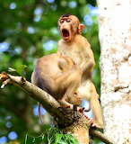 Monkey Business ~ Macaques