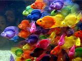 Color Pin fish