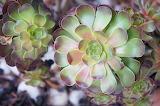 Aeonium (Blushing Beauty) Succulent