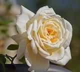 Rose6892