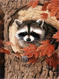 raccoon nature photo