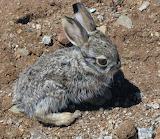 Baby Jack Rabbit, Where's Mama?