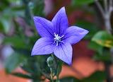 Flores 808
