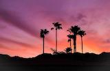 Coachella Valley Palms