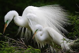 Aigrette blanches