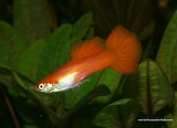 Guppy red male