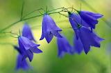 Closeup Bells Blue 545097 1280x851