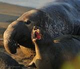 Tough Love - California Elephant Seals
