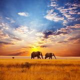 African Elephants...