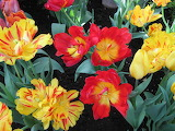 ^ Red and yellow tulips wallpaper